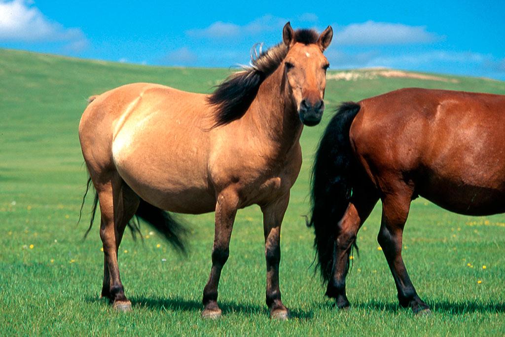 cavalos mongois