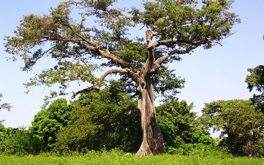 Poilão na Guiné-Bissau