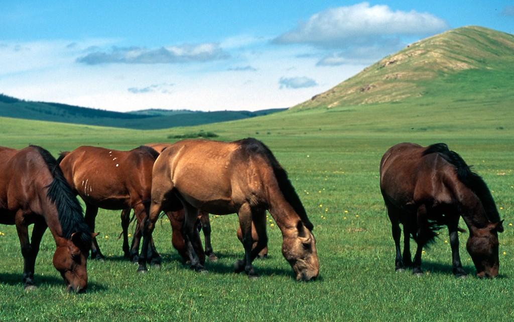 cavalos estepe mongol