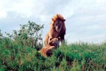 Leão em Ngorongoro