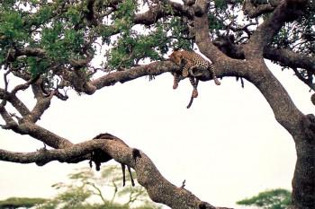 leopardo em árvore