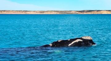 Baleia na Península Valdés