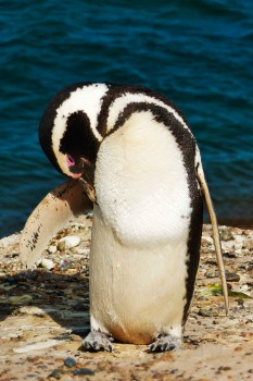 Pinguim na Península Valdés