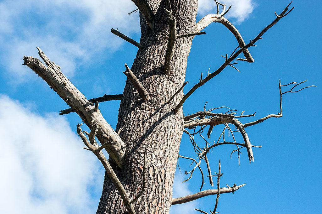 pinheiro seco