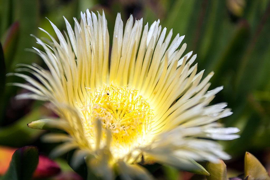 flor comum no caro da roca