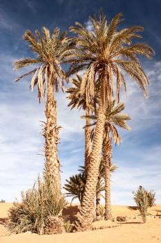 Palmeiras no deserto de Merzouga