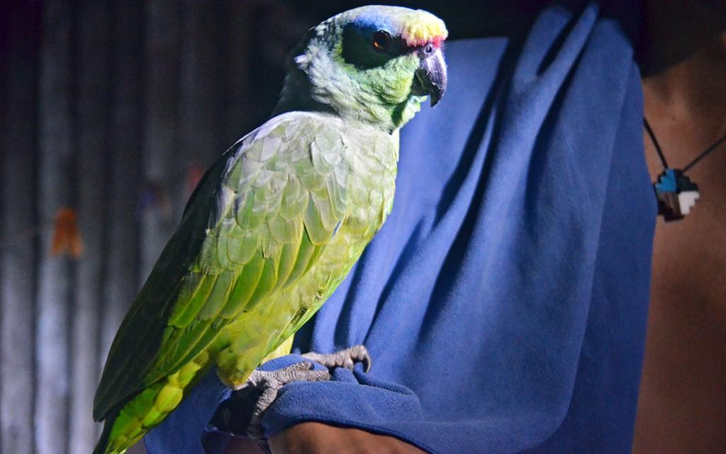 papagaio da amazónia peruana