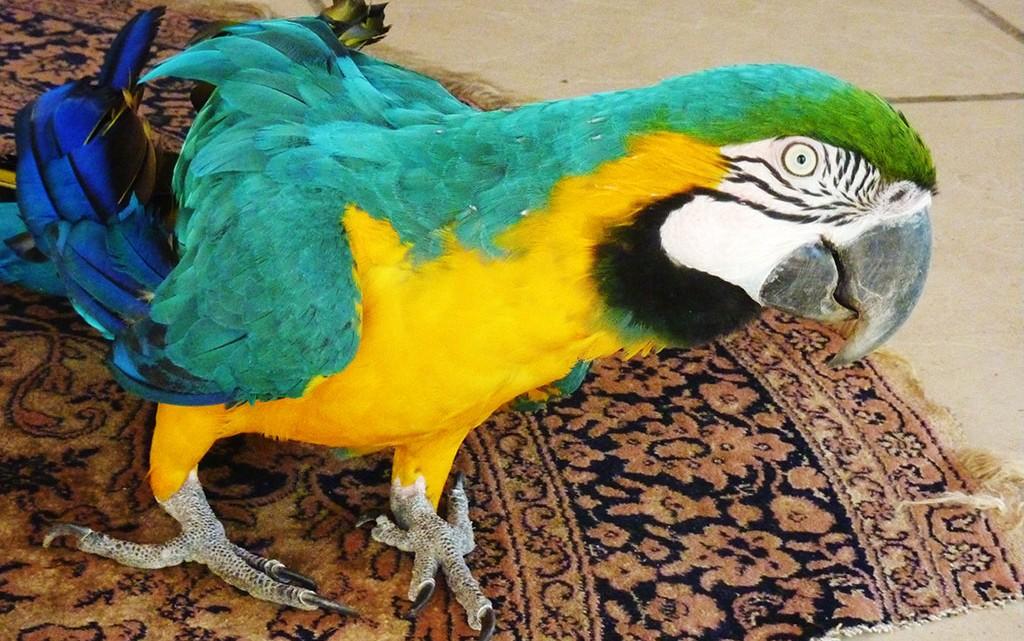 Papagaio no Rio de Janeiro