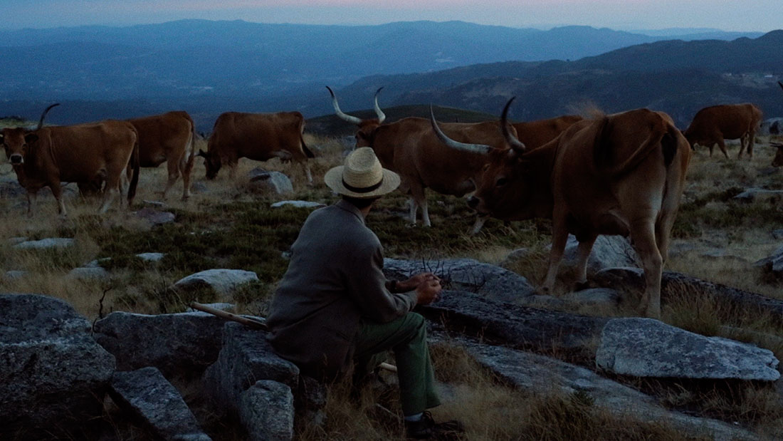 pastor e gado nos montes de Cabeceiras de Basto