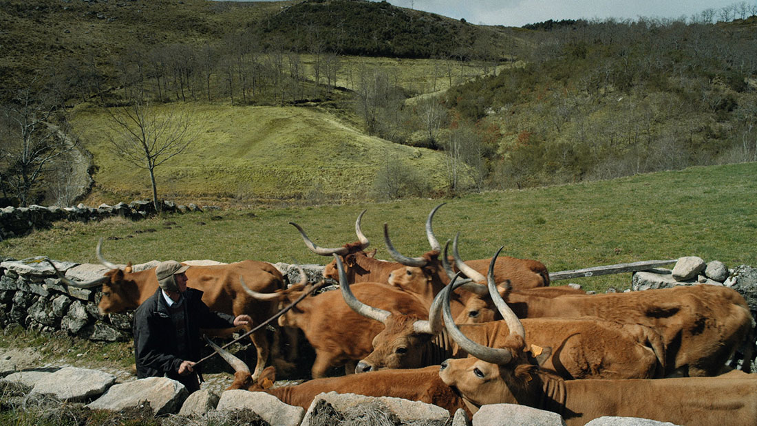 manada de vacas na aldeia da Uz