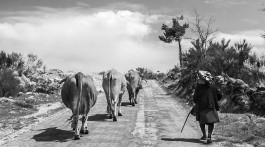 pastora com vacas numa estrada de montemuro