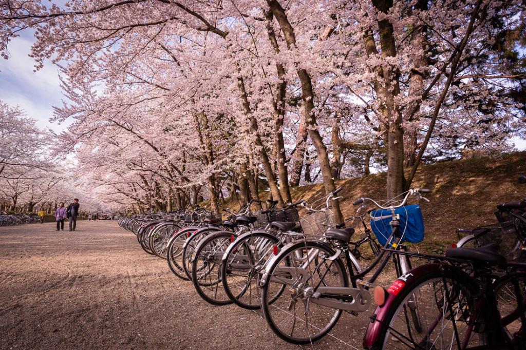 alameda com bicicletas e cerejeiras em flor