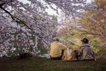 casal japonês a apreciar uma cerejeira em flor