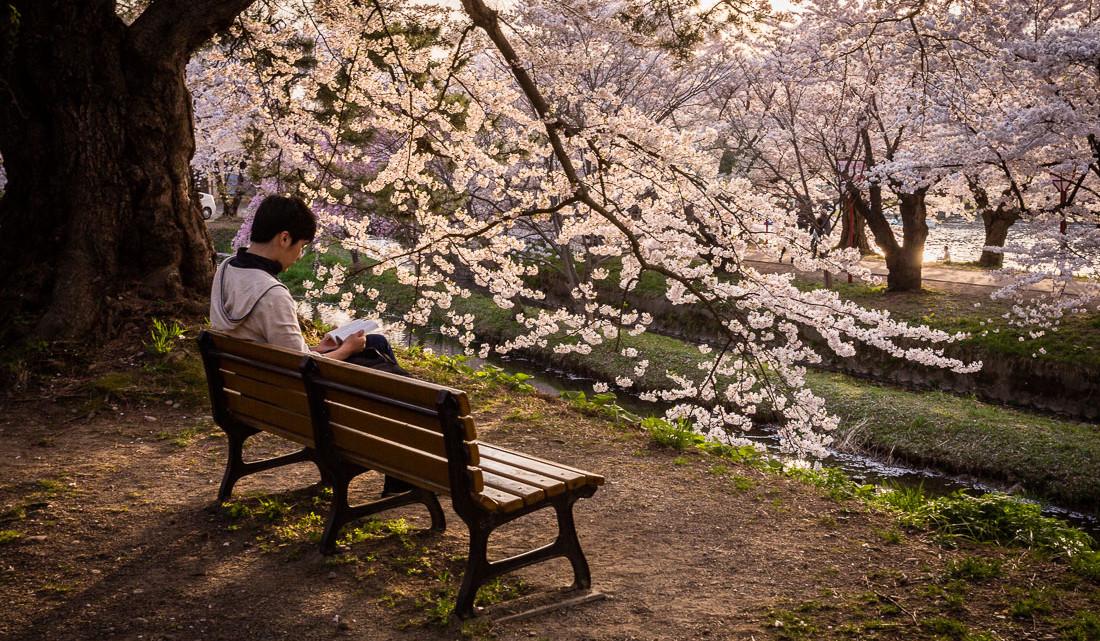 leitor junto a cerejeira no parque de Hirosaki