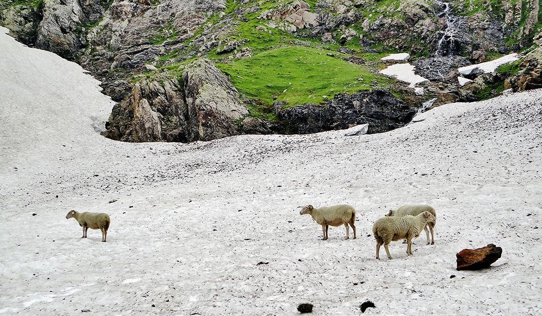 ovelhas na neve, Pic Longue Vignemale