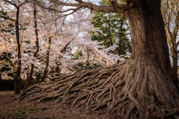 raízes da árvore mais antiga do parque de Hirosaki, no Japão