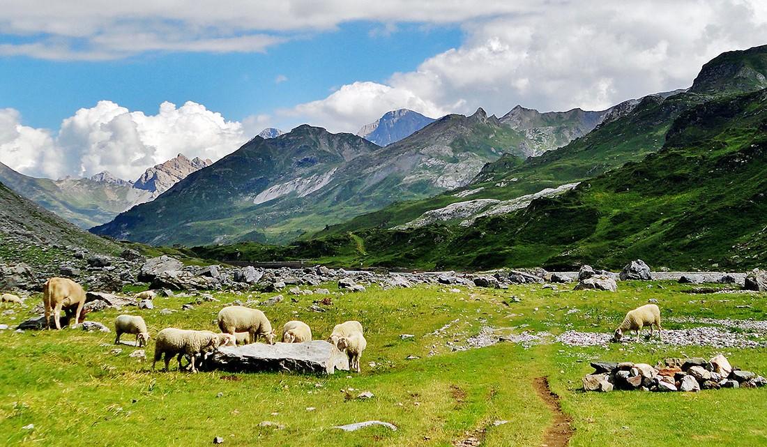 rebanho de ovelhas a pastar num prado Pirenéus