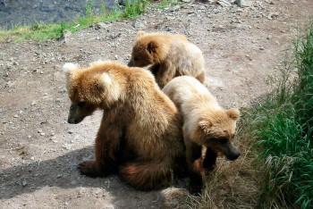 ninhada de ursos pardos no parque natural de Somiedo