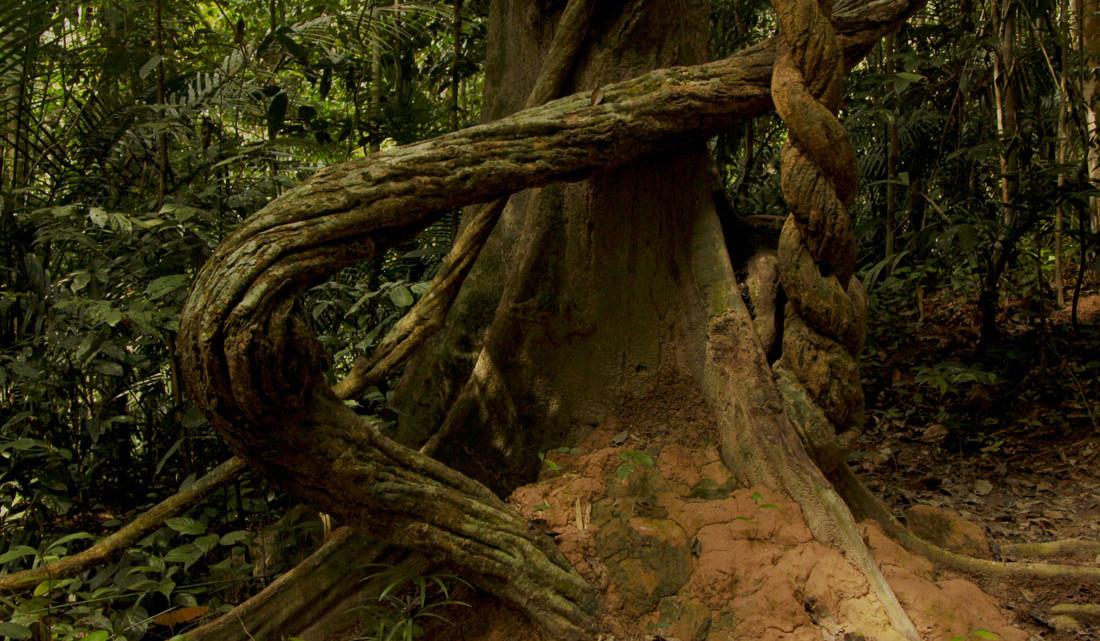 Formas singulares de troncos de árvores