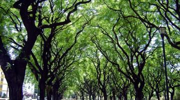Túneis criados por grandes árvores no bosque palermo em Buenos Aires.
