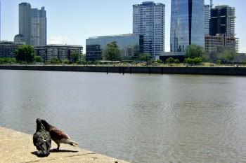 Pombos no cais e edifícios modernos junto ao Rio da Prata em Puerto Madero.