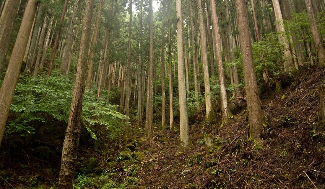Árvores alinhadas numa das encostas do parque das 48 cataratas de Akame no Japão.