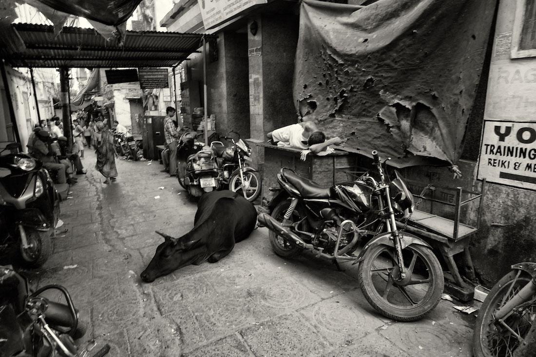 Homem e vaca a dormir durante o dia em rua estreita de Varanasi cheia de motos.