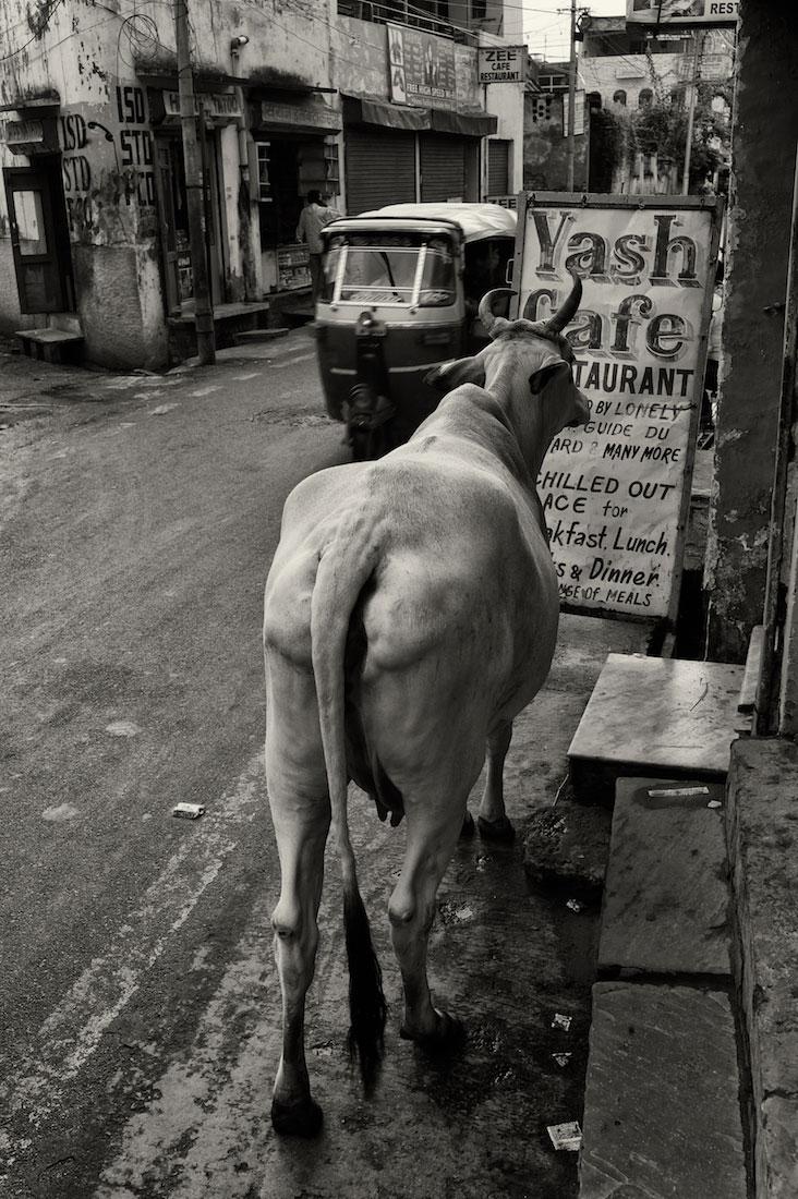 Vaca a olhar um placard com um menu de restaurante numa rua de Agra.