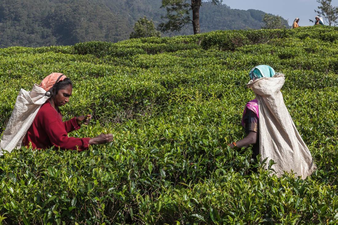 Mulheres a apanhar chá nos campos da região de Nuwara Eliya.