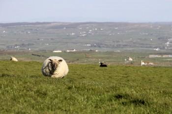 Ovelhas nos verdejantes campos irlandeses.
