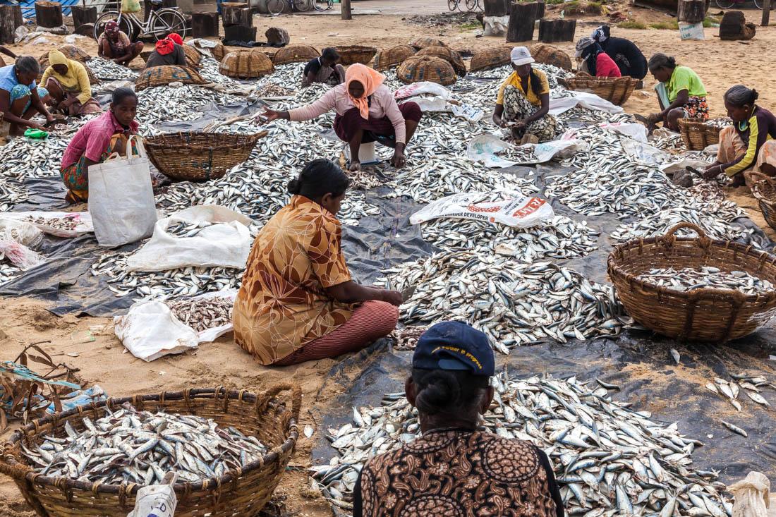 Mulheres a preparar peixe para secar na praia dos pescadores de Negombo, Sri Lanka.