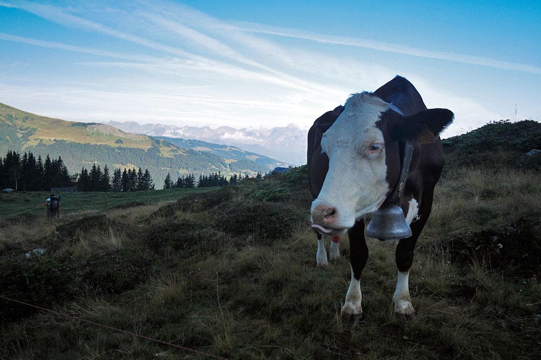 Vaca malhada típica dos Alpes com o seu grande chocalho.