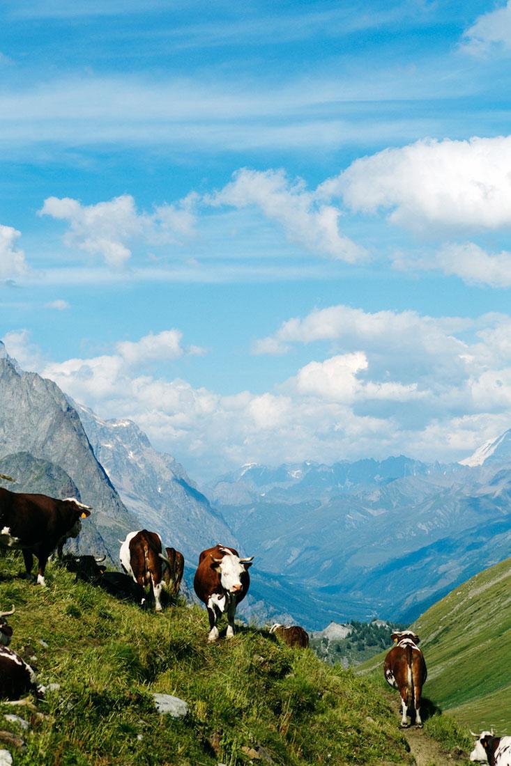Manada de vacas a pastar nos Alpes junto ao Monte Branco.