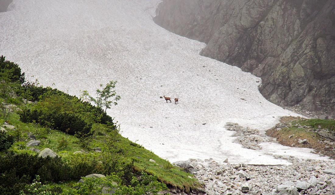 Corços sobre uma língua inclinada de neve no Parque Nacional do Tatras.