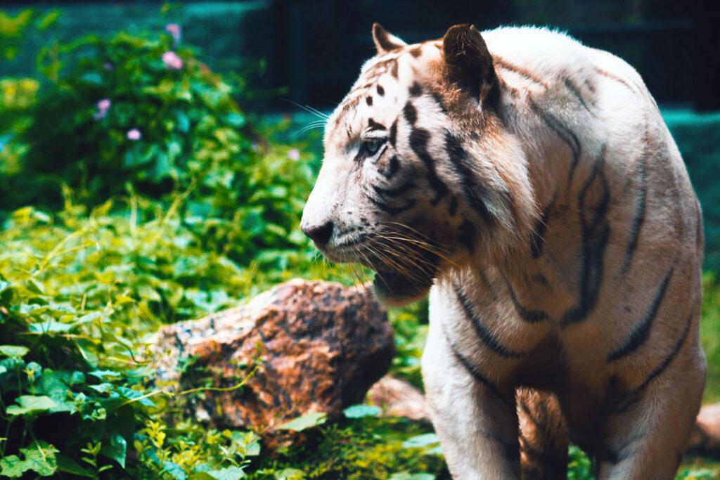 Tigre branco no zoo de Singapura